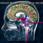 بررسی نقش سروتونین در تعدیل رفتار و راههای تقویت اثر وافزایش تولید آن