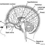آیا واقعا رشد و تکثیر سلولهای مغز، بعد از تولد و هنگام بزرگسالی  وجود دارد ؟